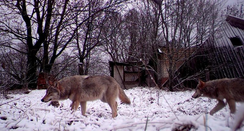 Дикие звери Чернобыльской зоны