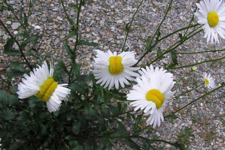 Мутации цветов в районе Фукусимы